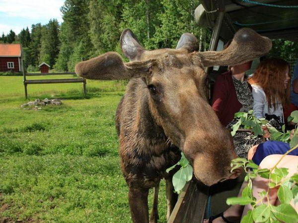 Nur wenige Kilometer entfernt können Sie einen tollen Elchpark besuchen!