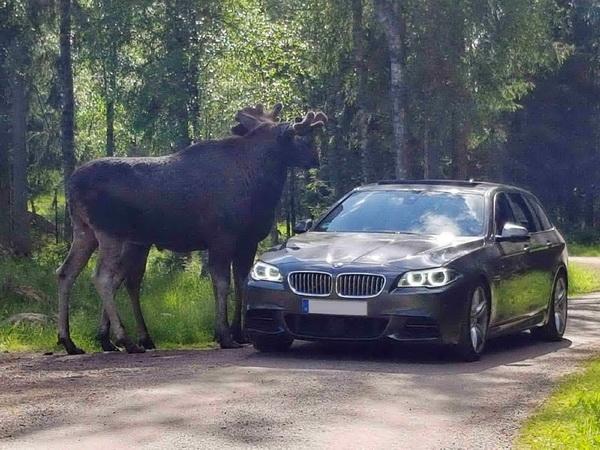 """Im """"Smålandet Elchpark"""" (50 km entfernt) können Sie auf Elchsafari gehen!"""